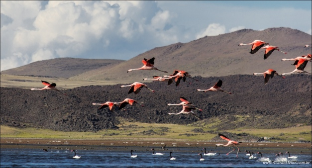 "Austral flamingos (Phoenicopterus chilensis) and black-necked swans (Cygnus melancoryphus) on Laguna del Tromen. (© Ricardo Alfredo Kleine Samson, via <a href=""https://www.flickr.com/photos/ricardokleine/24953218646/"" target=""_blank"">Flickriver</a>; slightly cropped)"